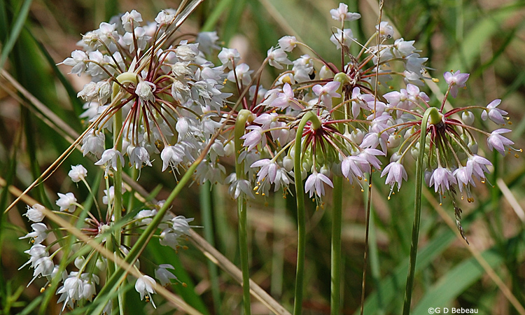 Nodding Wild Onion Group
