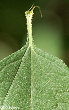 Pale-leaved sunflower lower leaf