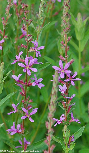 Purple Loosestrife plants