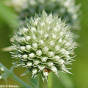 flower umbel