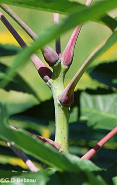 Smooth Sumac Twig