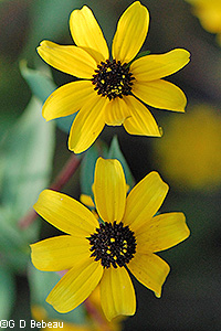 Thin leaf coneflower