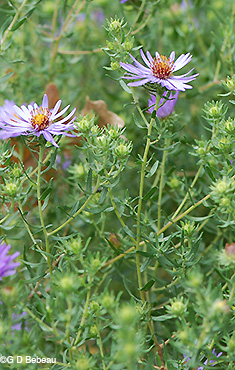 Aromatic Aster plant