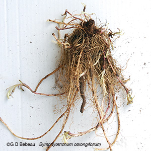 aromatic aster root system