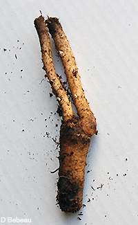Butterfly weed root
