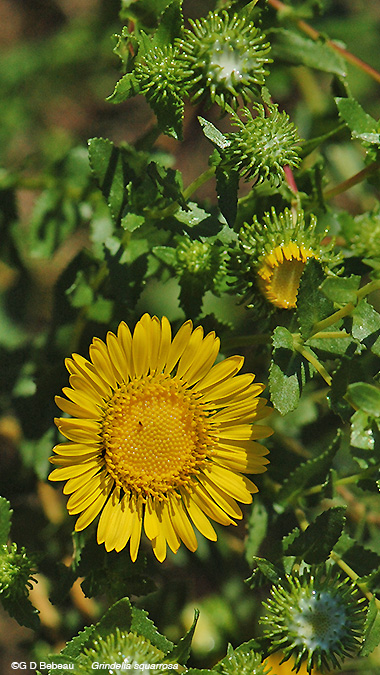 Curly-cup Gumweed plant