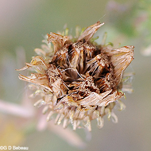Curly-cup Gumweed seed head