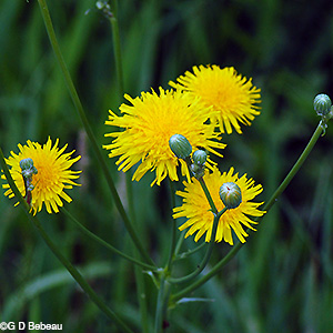Field Sow thistle flower cluster