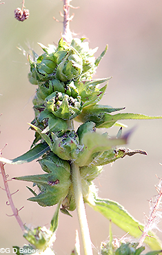 Great Ragweed bur capsules