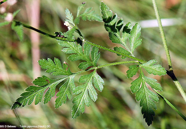 Japanese Hedge Parsley lower leaf