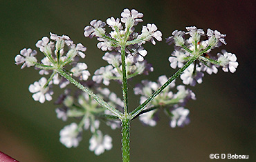 Japanese Hedge Parsley flower umbel