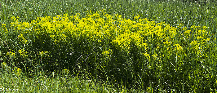 patch of leafy spurge