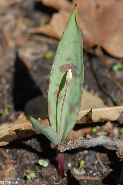 Trout lily bud and leaf