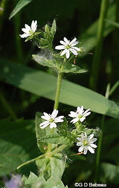 Mouse-ear Chickweed plant