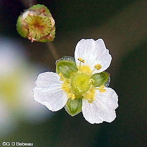 Northern Water Plantain flower