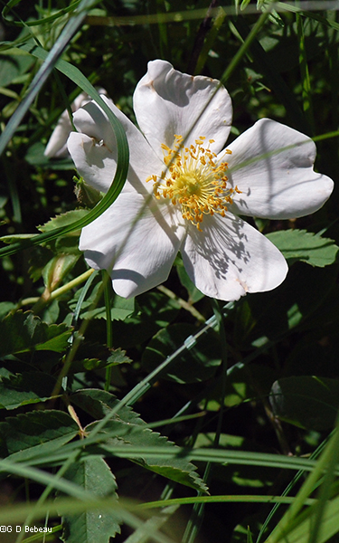 white prairie rose