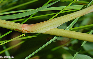 stem sheath