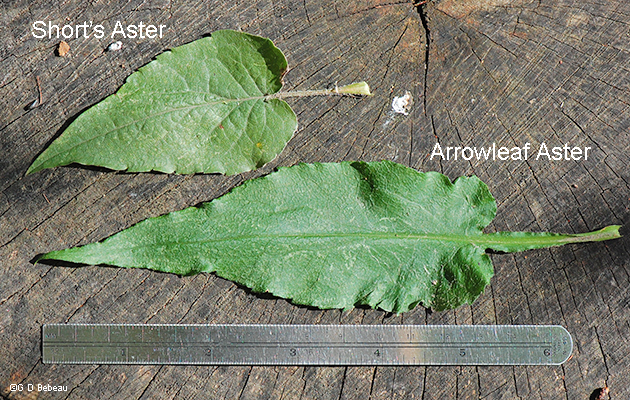 Leaf comparison with Short's Aster