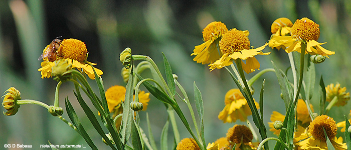 Sneezeweed plant grouping