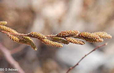 Male Flower catkins