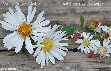 White aster flower comparison