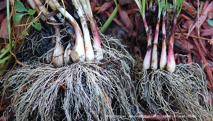wild onion root comparison