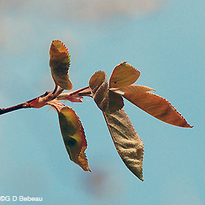 Downy Serviceberry leaf