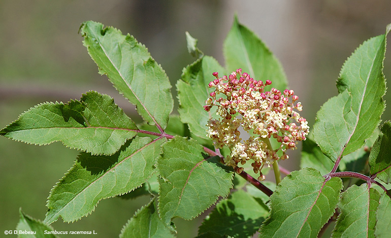 Elderberry stem and flowers