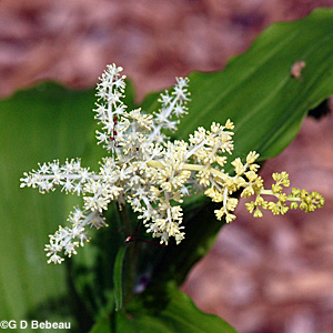 False Solomon's Seal flower head