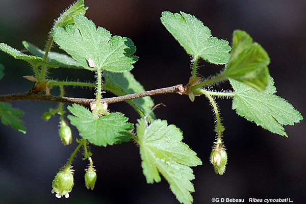 Prickly Gooseberry branch