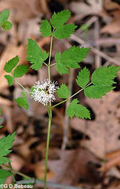 Red Baneberry plant