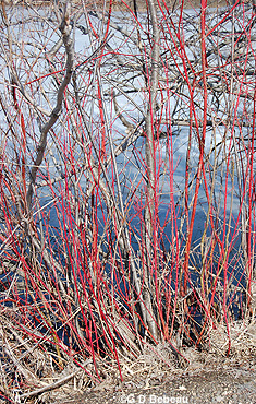 Red Osier dogwood Stems