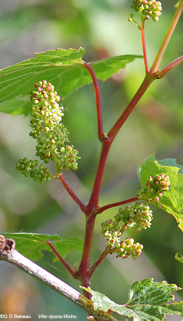 Riverbank grape flower clusters