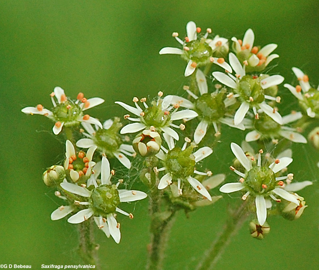 swamp saxifrage flowers