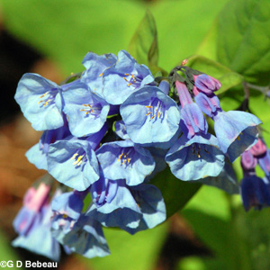 Virginia Bluebells flower detail