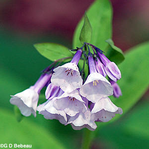 Virginia bluebell white flowers