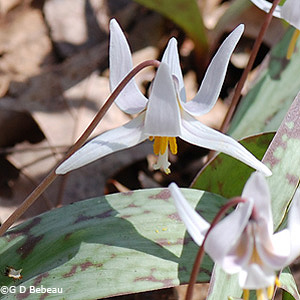 White Trout-lily