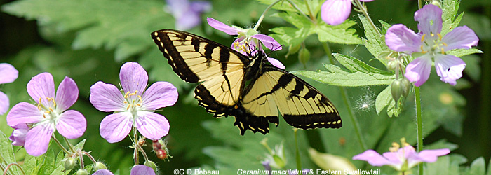 Wild Geranium with swallowtail