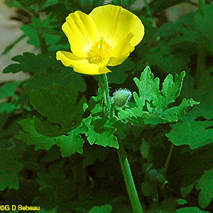Wood Poppy flower stem