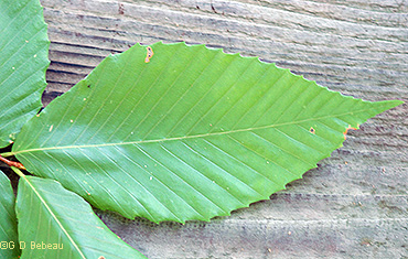 leaf upperside