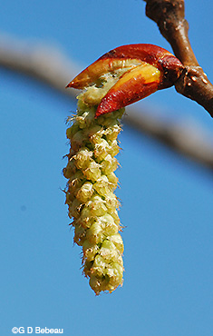 female catkin