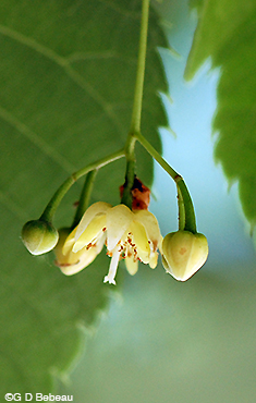 American Basswood Flower