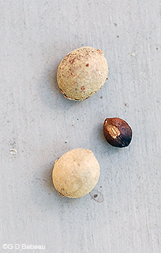 American Basswood Seeds