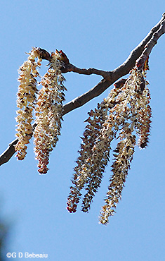 Bigtooth aspen male catkins