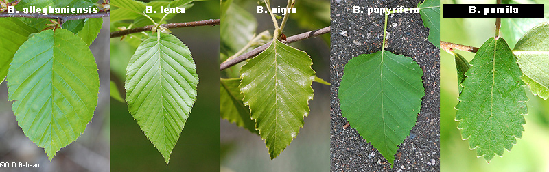 birch leaf comparison