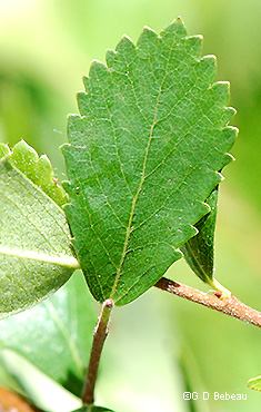 Leaf upper side