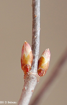 lateral buds