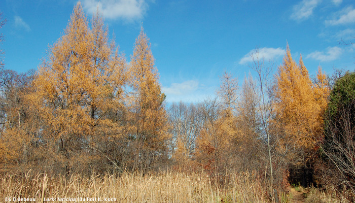 Larch in Woodland marsh
