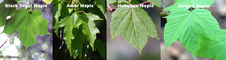 leaf comparisons