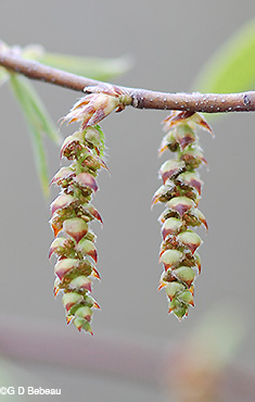 Musclewood male catkin